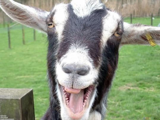 goat pimp